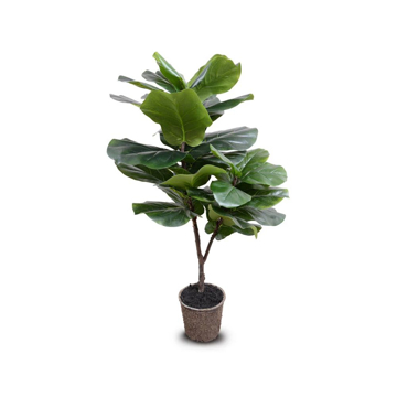 Picture of FIDDLE-LEAF FIG TREE, 50