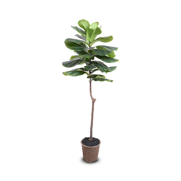 """Picture of FIDDLE-LEAF FIG TREE, 62"""""""
