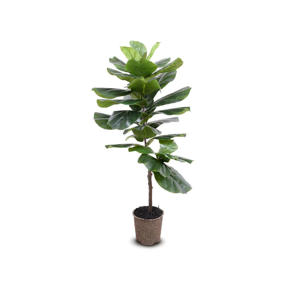 """Picture of FIDDLE LEAF FIG TREE 48"""""""