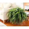 """Picture of FOREST FERN, 24"""""""
